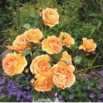 """ვარდი """"BERNSTEIN ROSE ® """" ( ROSE BERNSTEIN ROSE ®) ზრდასრული მცენარე კონტეინერით"""