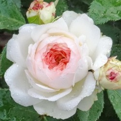 """ვარდი """"STEPHANIE BARONIN ZU GUTTENBERG ROSE """" ( ROSE STEPHANIE BARONIN ZU GUTTENBERG ROSE ) ზრდასრული მცენარე"""