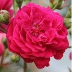 """ვარდი """" LOLA ® """" ( MINICLIMBER LOLA ® ) ზრდასრული მცენარე კონტეინერით"""