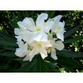 ოლეანდრი (Nerium oleander ). ნერგი.