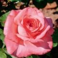 """ვარდი """" Arthur Rimbaud ® """" ( HYBRID TEA ROSE Arthur Rimbaud ® )  ზრდასრული მცენარე კონტეინერით"""