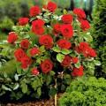 """ვარდი შტამბზე """"Niccolo Paganini """" (Rose Stamb """"Niccolo Paganini"""") ზრდასრული მცენარე კონტეინერით"""