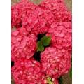 """ჰორტენზია """"'Leuchtfeuer'"""" (Hydrangea macrophylla 'Leuchtfeuer') ზრდასრული მცენარე კონტეინერით"""