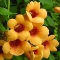 """კამპსისი """"Judy"""" (Campsis radicans Judy) ნერგი  კონტეინერით"""