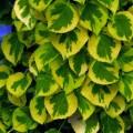 """ჰორტენზია მცოცავი  """"Mirranda"""" (Hydrangea anomala Mirranda )  მცენარე კონტეინერით"""