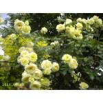 """ვარდი  """"ELFE ®"""" (CLIMBING ROSE ELFE ®) ზრდასრული მცენარე კონტეინერით"""