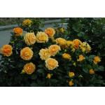 """ვარდი """" DIANA ® """" ( ROSE DIANA ® ) ზრდასრული მცენარე კონტეინერით"""