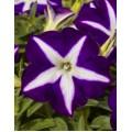 """პეტუნია """"Blue Star"""" (PETUNIA HYBRIDA PENDULA GRANDIFLORA  """"Blue Star"""") ნერგი კასეტებში"""