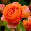 """ვარდი """" lady emma hamilton """" ( ENGLISH ROSE lady emma hamilton) ზრდასრული მცენარე კონტეინერით"""