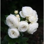 """ვარდი """" ARTEMIS ® """" ( Modern Shrub Rose ARTEMIS ® ) ზრდასრული მცენარე კონტეინერით"""