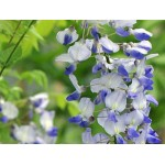 """გლიცინია """"Blue Dream """" (Wisteria floribunda Blue Dream ) ნერგი 8 ლტ. კონტეინერით"""