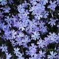 ფლოქსია (PHLOX SUBULATA Emerald-Blue) ზრდასრული მცენარე კონტეინერით