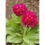 """ფურისულა """"Rubin""""  ( Primula Denticulata Rubin ) ფესვურა"""