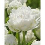 """ტიტა  """"Snow Crystal"""" (Tulips Snow Crystal) ბოლქვი 5 ცალი"""
