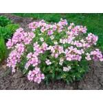 """არაბისი """" alpina rosea""""(Arabis alpina rosea)  ნერგი"""