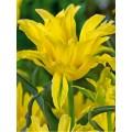 """ტიტა  """"Monte Spider """" (Tulipa Monte Spider) ბოლქვი 5 ცალი"""