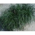 ოფიოპოგონი იაპონური (Ophiopogon japonicus) ზრდასრული მცენარე კონტეინერით