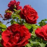 """ვარდი """"SANTANA ®"""" (CLIMBING ROSE SANTANA ®) ზრდასრული მცენარე კონტეინერით"""