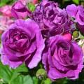 """ვარდი """" Minerva """" ( FLORIBUNDA ROSE Minerva ) ზრდასრული მცენარე კონტეინერით"""