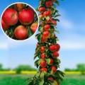"""ვაშლი """"KRALJICA CARDASA"""" სვეტისებური ფორმის (COLUMN APPLE KRALJICA CARDASA) ნერგი კონტეინერით"""