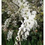 """გლიცინია """"White Silk"""" (Wisteria brachybotrys White Silk) ნერგი C2 კონტეინერით"""