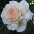"""ვარდი """" Chandos Beauty ® """" ( ROSE """"Chandos Beauty ® """") ზრდასრული მცენარე კონტეინერით"""