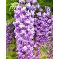 """გლიცინია """"Violacea Plena  """" (Wisteria floribunda Violacea Plena ) ნერგი C2 კონტეინერით"""