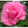 """ვარდი """"Paul Mc Cartney"""" ( HYBRID TEA ROSE Paul Mc Cartney) ზრდასრული მცენარე კონტეინერით"""