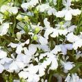 ლობელია ამპელური თეთრი (Lobelia erinus, white)  თესლი