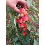 სამოთხის ვაშლი (MALUS PUMILA ) ნერგი კონტეინერით