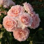 """ვარდი """" Cremosa """" ( FLORIBUNDA ROSE Cremosa ) ზრდასრული მცენარე კონტეინერით"""