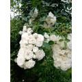 """ვარდი 'Alba Meillandecor """" (CLIMBING ROSE Alba Meillandecor) ზრდასრული მცენარე კონტეინერით"""