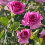 """ვარდი """"Melody Parfum"""" ( HYBRID TEA ROSE Melody Parfum)  ზრდასრული მცენარე კონტეინერით"""