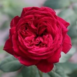"""ვარდი """"GOSPEL ® """" ( Hybrid Tea ROSE JGOSPEL ® ) ზრდასრული მცენარე კონტეინერით"""