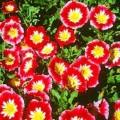 """დილის ვარდი """"Red Ensign"""" (Convolvulus Tricolor Minor Red Ensign) თესლი 10 ცალი"""