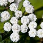 """მარუნა """"Маруна"""" (Pyrethrum majus) თესლი"""