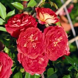 """ვარდი """"CARMEN ®"""" (MINI CLIMBING CARMEN ®) ზრდასრული მცენარე კონტეინერით"""