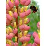 """ლუპინი """"Pink/Yellow"""" (Lupinus Pink/Yellow) ნერგი"""