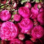 """ვარდი """"PINK PIANO"""" ( ROSE PINK PIANO) ზრდასრული მცენარე კონტეინერით"""