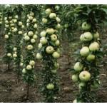 """ვაშლი """"DJERDAN"""" სვეტისებური ფორმის (Column apple DJERDAN) ნერგი კონტეინერით"""