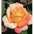 """ვარდი """"Marvelle"""" ( HYBRID TEA ROSE Marvelle ) ზრდასრული მცენარე კონტეინერით"""