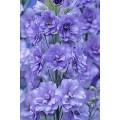 """დელფინიუმი """" Lilac Spire"""" (Delphinium Consolida Lilac Spire) თესლი 50 მარცვალი"""