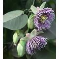 პასიფლორა  ( passiflora ligularis) თესლი 6 მარცვალი
