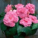 """ბეგონია """"'PICOTEE LACE Pink"""" ( BEGONIA 'PICOTEE LACE Pink ) ბოლქვი 3 ცალი"""