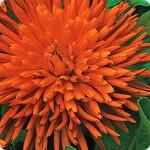 """გულყვითელა ბუთხუზა """"Radio"""" (Calendula officinalis) თესლი."""