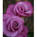 """ვარდი """"Melody Parfum"""" ( HYBRID TEA ROSE Melody Parfum) ნამყენი ნერგი"""