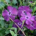"""ვინკა """" 'Atropurpurea'"""" (VINCA MINOR 'Atropurpurea') ნერგი კონტეინერით"""