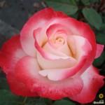 """ვარდი """"NOSTALGIE ®"""" ( Hybrid Tea ROSE NOSTALGIE ®) ზრდასრული მცენარე კონტეინერით"""