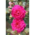 """ვარდი """" Gloriana """" ( CLIMBING ROSE Gloriana )  ზრდასრული მცენარე კონტეინერით"""