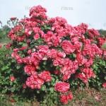 """ვარდი """" Angela """" ( FLORIBUNDA ROSE Angela ) ზრდასრული მცენარე კონტეინერით"""